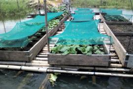 Gardens growing on floating platforms