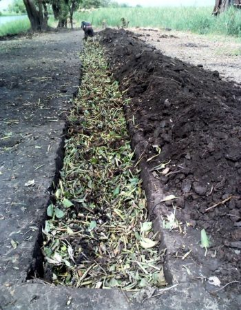 Trenches with cut hyacinth leaves